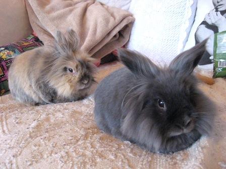 disgruntled bunny kanin harjaaminen